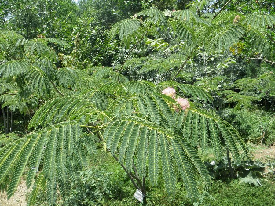 Albizia julibrissin - Fabaceae / شب خسب یا گل ابریشم