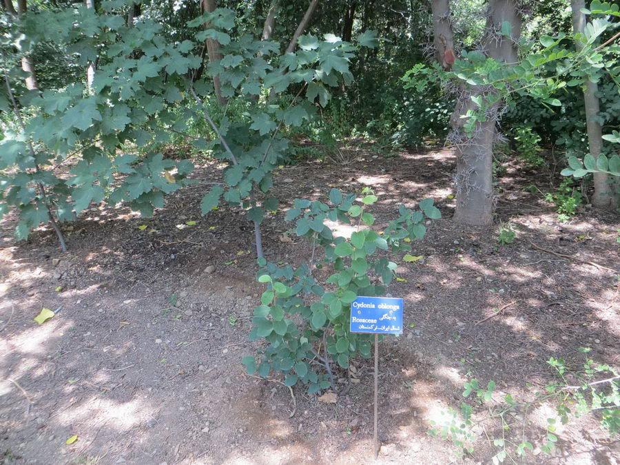 Cydonia oblonga - Rosaceae / به جنگلی