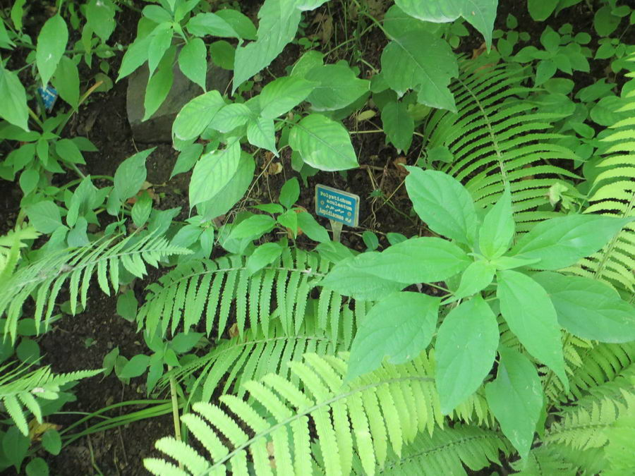 Polystichum aculeatum - Dryopteridaceae / سرخس خاردار