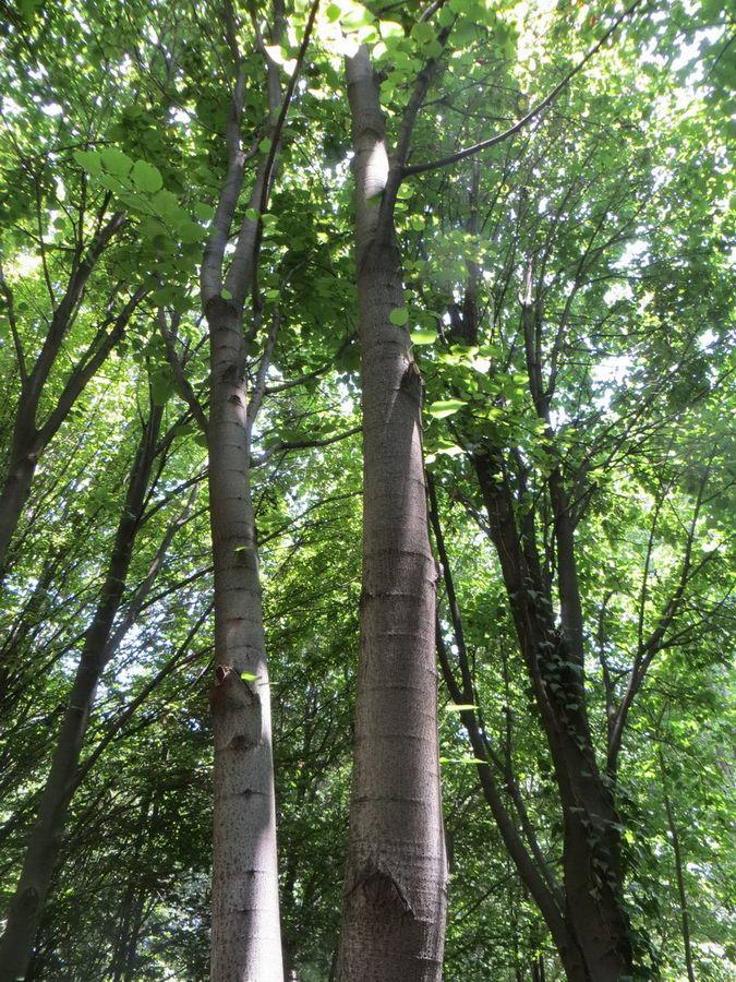 Tilia platypyillus- Malvaceae / درخت نمدار