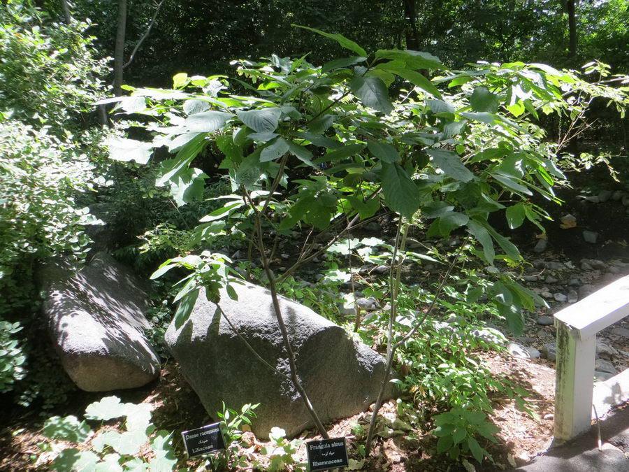Frangula alnus - Rhamnaceae / سیاه توسه