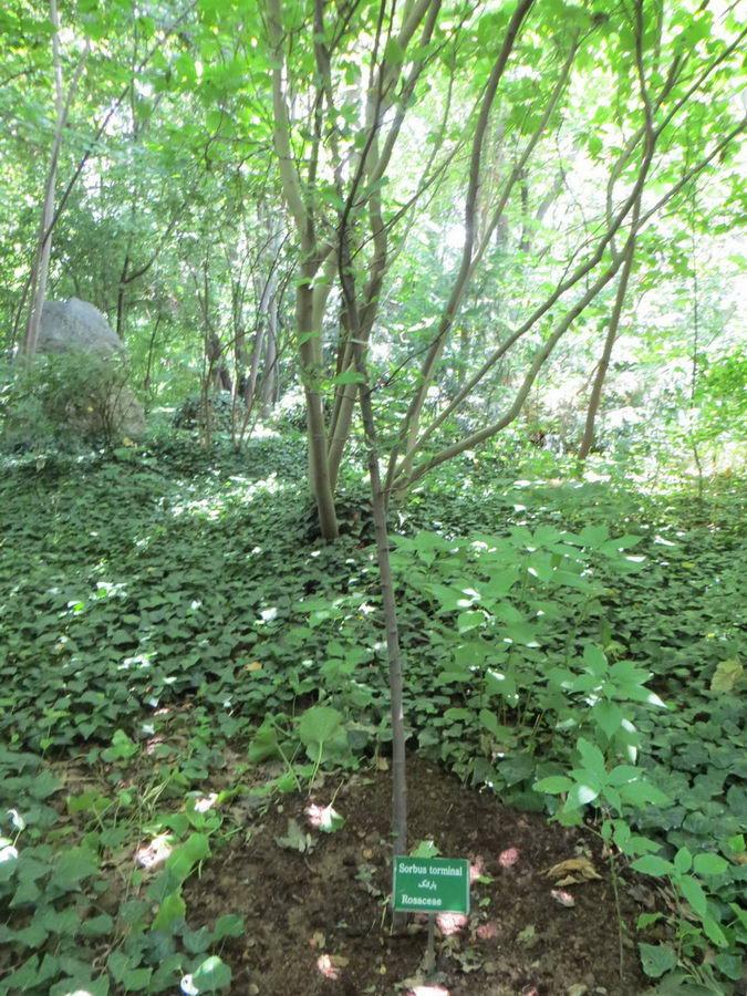 Sorbus torminal - Rosaceae / بارانک