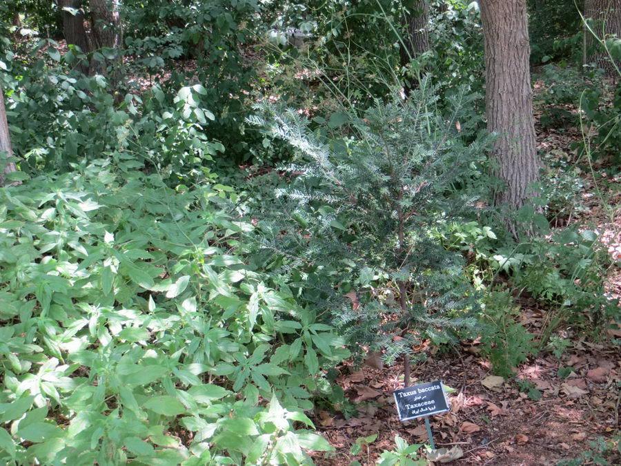 Taxus baccata - Taxaceae / سرخدار